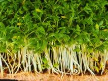 Crescione germogliato Immagine Stock Libera da Diritti