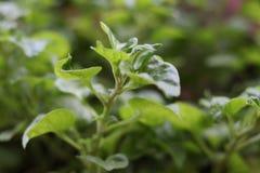 Crescione, insalata selvaggia ed erba medicinale Fotografia Stock Libera da Diritti