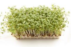 Crescione o germogli di giardino Fotografie Stock Libere da Diritti