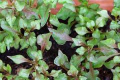 Crescione rosso (nasturtium officinale) Immagine Stock