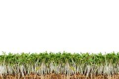 Crescione verde e fresco Fotografia Stock Libera da Diritti