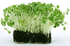Crescione verde sano fresco Fotografie Stock