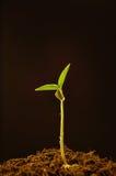 Crescita Fotografie Stock Libere da Diritti
