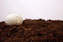Crescita bianca del fungo Immagini Stock Libere da Diritti