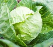 Crescita capa del cavolo sul letto di verdure Fotografie Stock