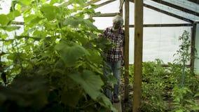 Crescita d'esame dell'uomo senior delle piante nella serra video d archivio
