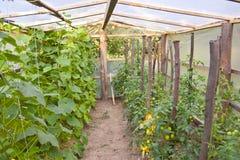 Crescita dei cetrioli e del pomodoro verdi Immagini Stock Libere da Diritti