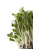 Crescita dei germogli del broccolo Immagini Stock Libere da Diritti