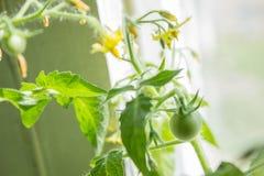 Crescita dei pomodori Fotografie Stock Libere da Diritti