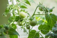 Crescita dei pomodori Immagini Stock Libere da Diritti