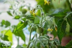 Crescita dei pomodori Fotografia Stock Libera da Diritti