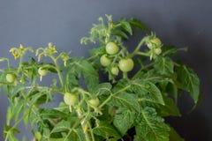 Crescita dei pomodori Immagini Stock