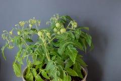 Crescita dei pomodori Immagine Stock