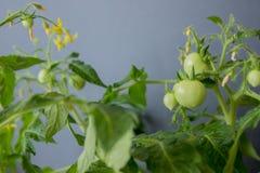 Crescita dei pomodori Fotografia Stock