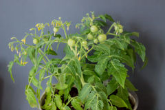 Crescita dei pomodori Immagine Stock Libera da Diritti