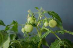 Crescita dei pomodori Fotografie Stock