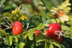 Crescita dei pomodori ciliegia Fotografia Stock Libera da Diritti