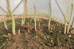 Crescita dei tiri dell'asparago Immagine Stock