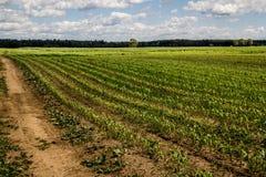 Crescita del campo di grano fotografia stock libera da diritti