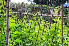 Crescita del cetriolo Immagini Stock