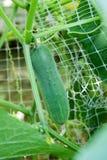 Crescita del cetriolo nella pianta del campo immagini stock
