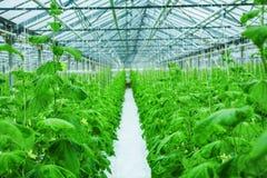 Crescita del cetriolo in serra Immagine Stock Libera da Diritti