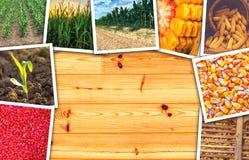 Crescita del mais e del mais nell'agricoltura, collage della foto Immagini Stock Libere da Diritti
