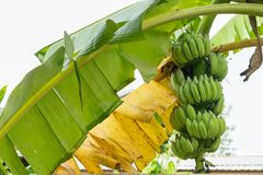 Crescita del mazzo della banana sul banano Fotografia Stock Libera da Diritti
