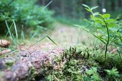 Crescita del muschio Fotografie Stock