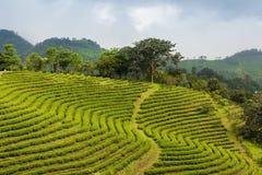 Crescita del paesaggio della piantagione di tè nel pendio di montagna Fotografie Stock
