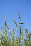 crescita del raccolto del cereale non matura Fotografia Stock