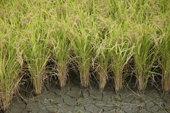 Crescita del riso Immagini Stock