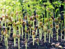 Crescita del seme della pianta Immagine Stock Libera da Diritti