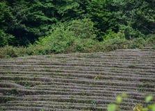 Crescita del tè Fotografia Stock Libera da Diritti