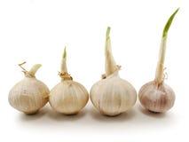 Crescita dell'aglio Immagine Stock Libera da Diritti