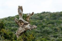 Crescita dell'albero - Addo Landscape fotografia stock