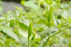 Crescita dell'albero del peperoncino rosso nel giardino del cortile Immagine Stock