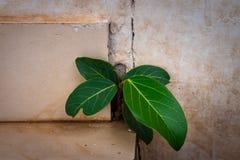 Crescita dell'albero di banyan piccola in muro di cemento immagine stock