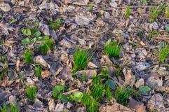 Crescita dell'erba in primavera Fotografia Stock