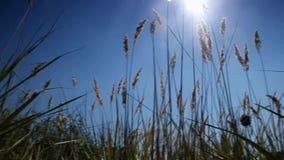 Crescita dell'erba selvatica video d archivio
