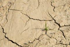 Crescita dell'erba verde su area arida Fotografia Stock