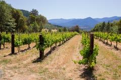 Crescita dell'uva della vigna fotografia stock libera da diritti