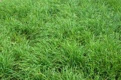 Crescita della erba cipollina di aglio Fotografie Stock