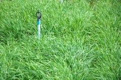 Crescita della erba cipollina di aglio Fotografie Stock Libere da Diritti