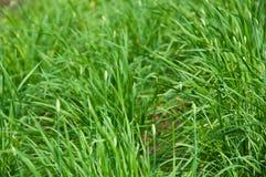 Crescita della erba cipollina di aglio Fotografia Stock Libera da Diritti