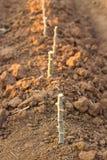 Crescita della manioca, agricoltura asiatica Fotografia Stock Libera da Diritti