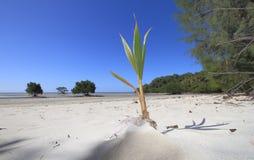 Crescita della noce di cocco Immagini Stock Libere da Diritti