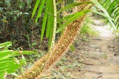 Crescita della palma del rattan in foresta immagine stock libera da diritti