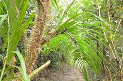 Crescita della palma del rattan in foresta fotografie stock libere da diritti