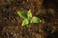 Crescita della pianta Immagine Stock